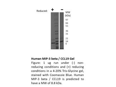 Human MIP-3b (CCL19)