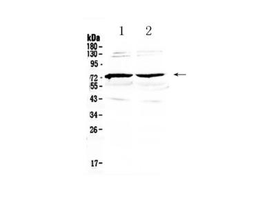 Anti-GAS 6 Picoband Antibody