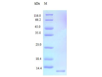 Recombinant Human C-C motif chemokine 15 protein (CCL15) (Active)