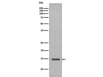 Rabbit Anti-Histone H2B Antibody