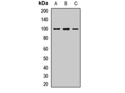 Anti-R Cadherin Antibody