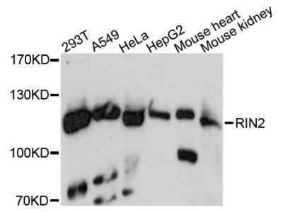 RIN2 Polyclonal Antibody
