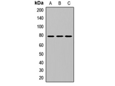 Anti-I kappa B- zeta Antibody