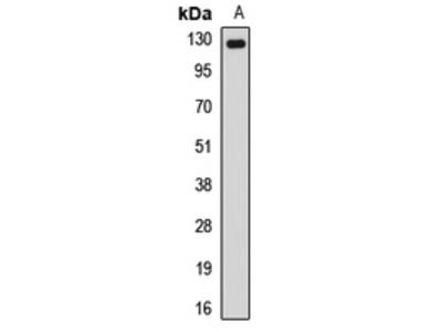 Anti-NUP133 Antibody