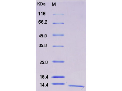 Recombinant Human S100A16 / S100F Protein