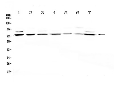 Anti-E74 like factor 1 Picoband antibody