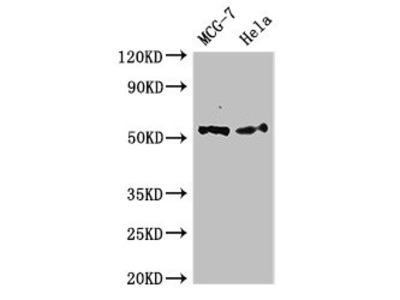PTK6 Antibody