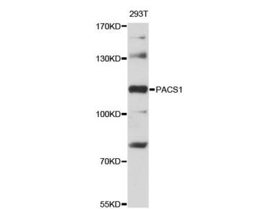 PACS1 Polyclonal Antibody