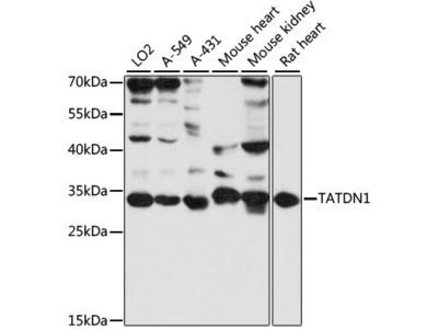 TATDN1 Polyclonal Antibody