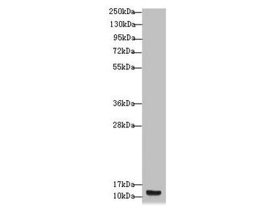 S100A14 Antibody