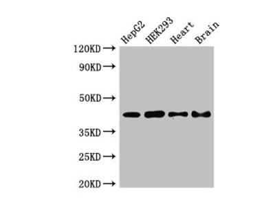 PNKD Antibody