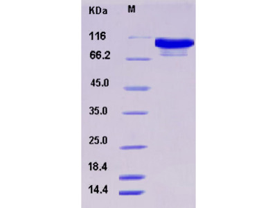 Recombinant Mouse AARS / alanyl-tRNA synthetase Protein (His tag)