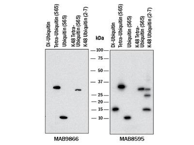 Phospho-Ubiquitin (S65) Antibody