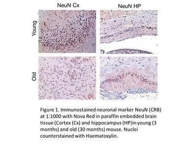Anti-NeuN antibody
