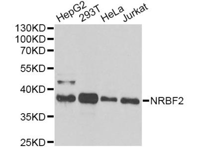NRBF2 Polyclonal Antibody