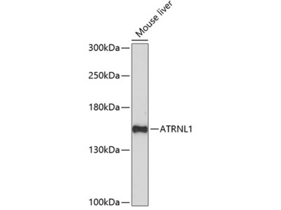 ATRNL1 Rabbit pAb