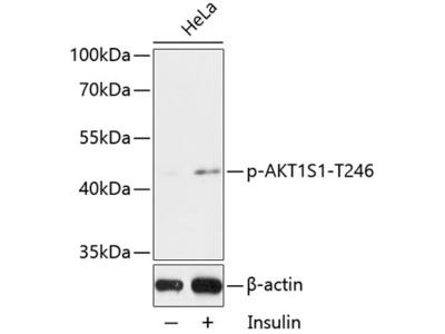 Phospho-AKT1S1-T246 pAb Antibody