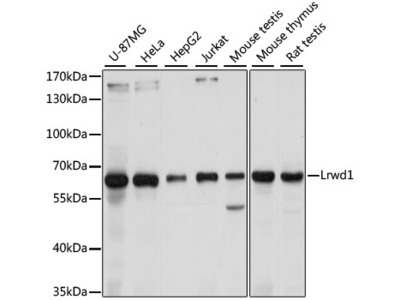 Lrwd1 Polyclonal Antibody