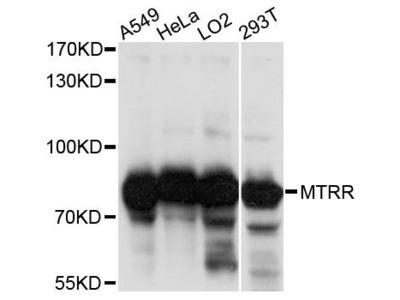 MTRR Antibody