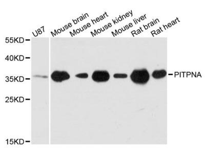 PITPNA Polyclonal Antibody