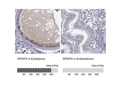 SPINT4 Antibody