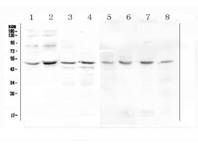 Anti-KCNN4 Picoband Antibody
