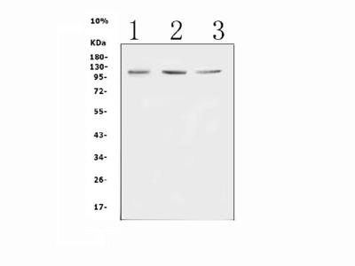 Anti-Mib1/Mindbomb Picoband Antibody