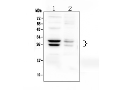 Anti-COMT Antibody Picoband