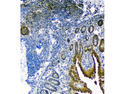 Anti-Thioredoxin/TRX/Txn Antibody Picoband