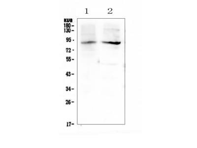 Anti-XPB/ERCC3 Antibody Picoband