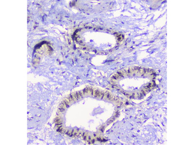 Anti-CFP Picoband Antibody