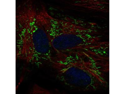 Anti-ALDH1L2 Antibody