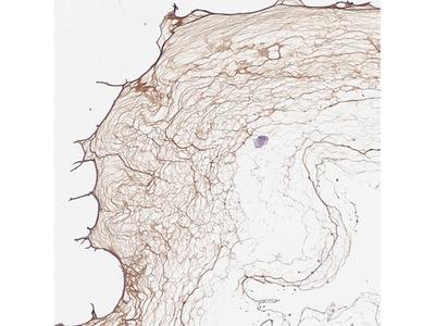 Anti-COL9A2 Antibody