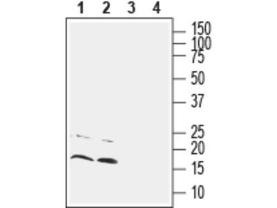 Anti-CNIH2/3 (extracellular) Antibody