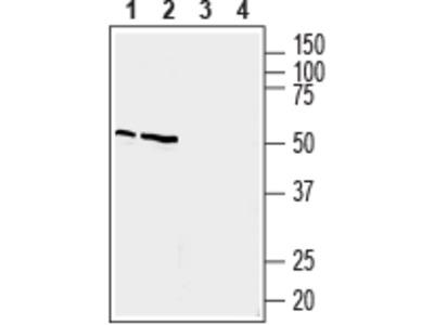 Anti-Prostaglandin E Receptor EP4 (PTGER4) Antibody