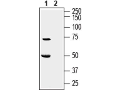 Anti-KCNK16 (TALK-1) (extracellular) Antibody
