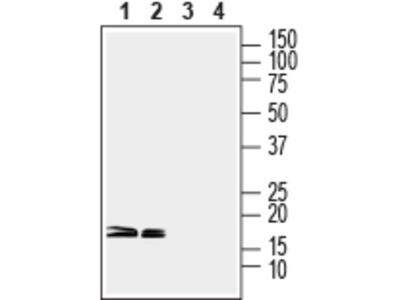 Anti-CPLX1/2 Antibody