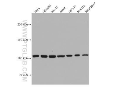 CRM1 antibody
