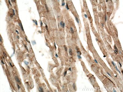 CERK antibody