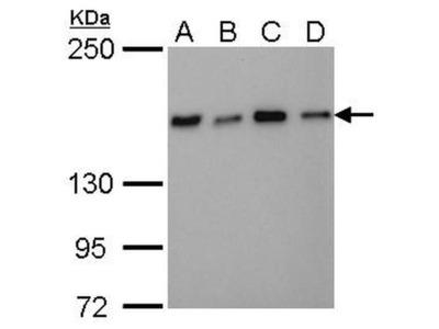 NFKBIL2 Monoclonal Antibody (GT648)