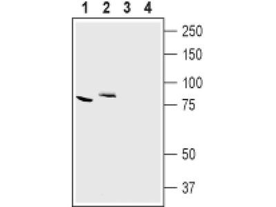 CLCN7 Antibody