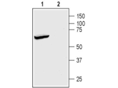 KCNK2 Polyclonal Antibody