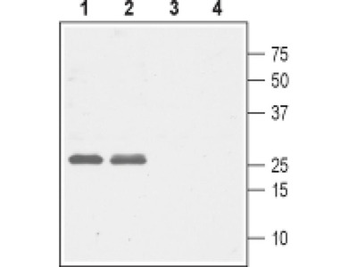 CACNG5 (extracellular) Polyclonal Antibody
