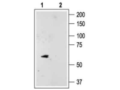 KCNK10 Polyclonal Antibody