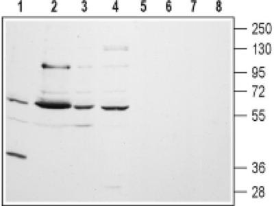 CHRM5 (extracellular) Antibody