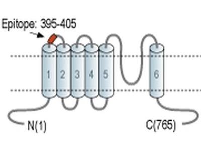 TRPV6 (extracellular) Polyclonal Antibody