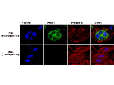 Prom1 Monoclonal Antibody (2F8C5)