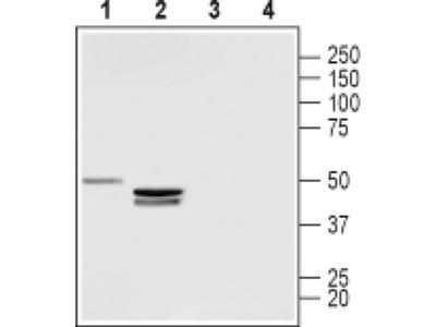 LPAR3 (extracellular) Polyclonal Antibody
