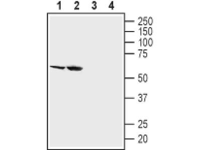 SGLT2 (extracellular) Polyclonal Antibody