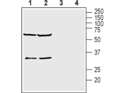 KCNK15 (extracellular) Polyclonal Antibody